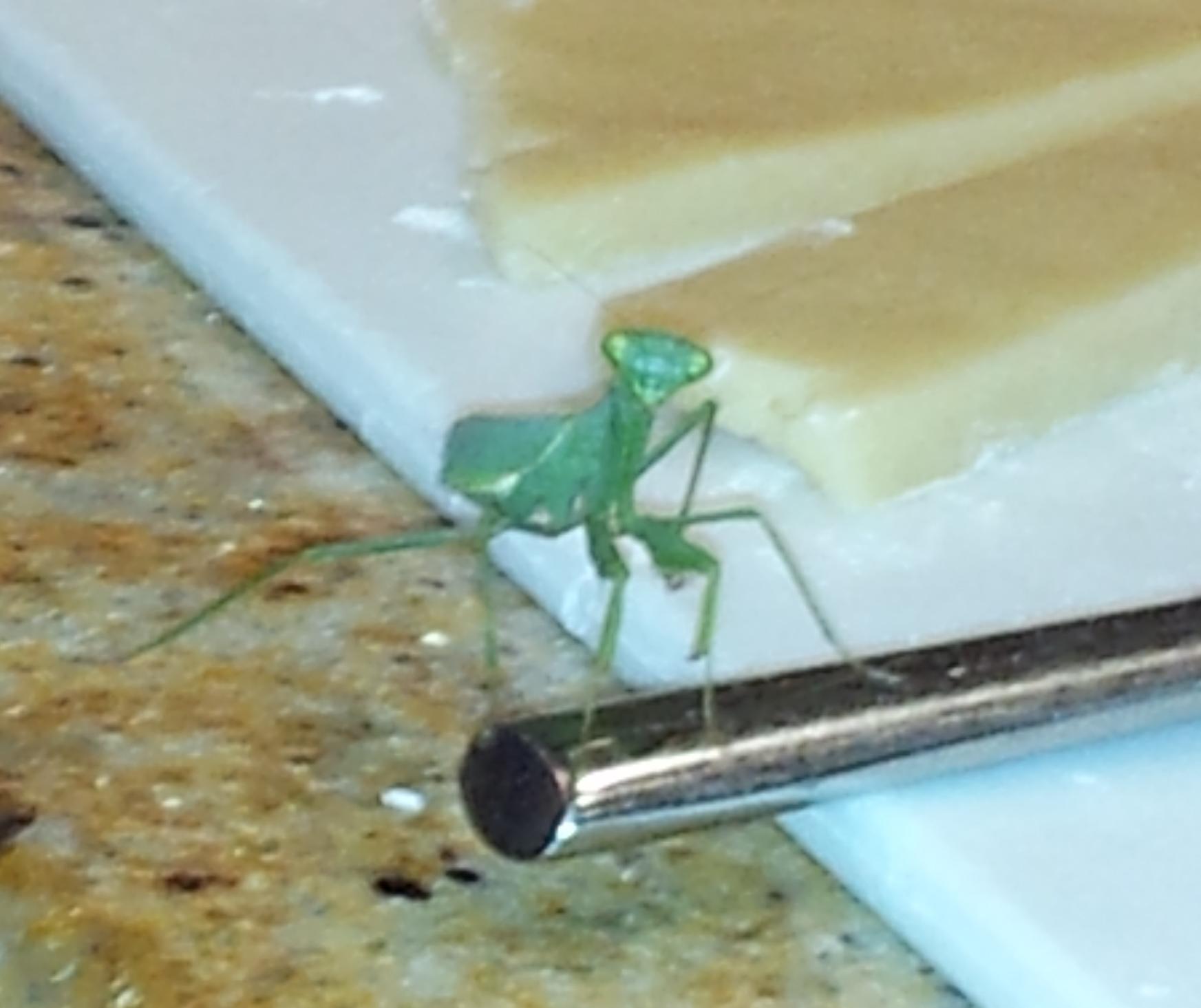 Praying Mantis Sends A Message Navigating Vita