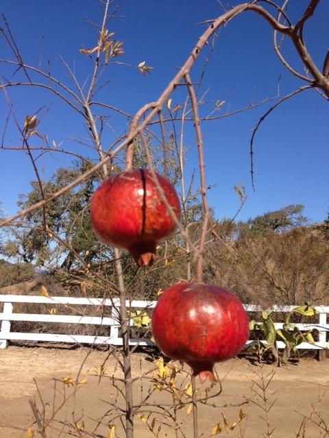 livingyogapomagranates